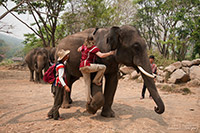 Ride your elephant as bareback, practice how to get up and down from elephant : JC Tour Chiangmai
